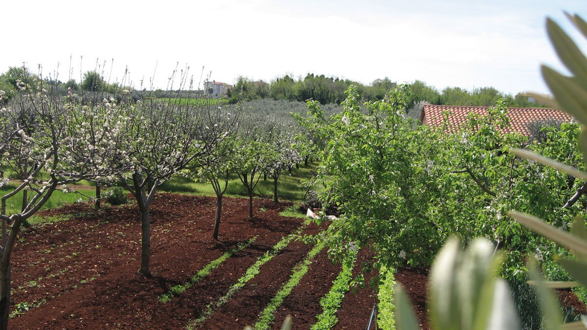 Ölbaumfeld in Istrien