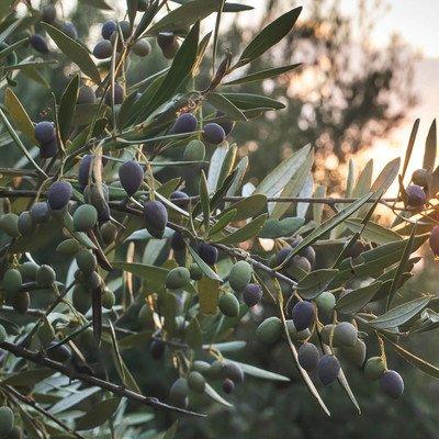 Besuch einer Olivenölmühle