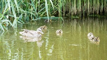 Alle CTS-Enten schwimmen auf dem Teich
