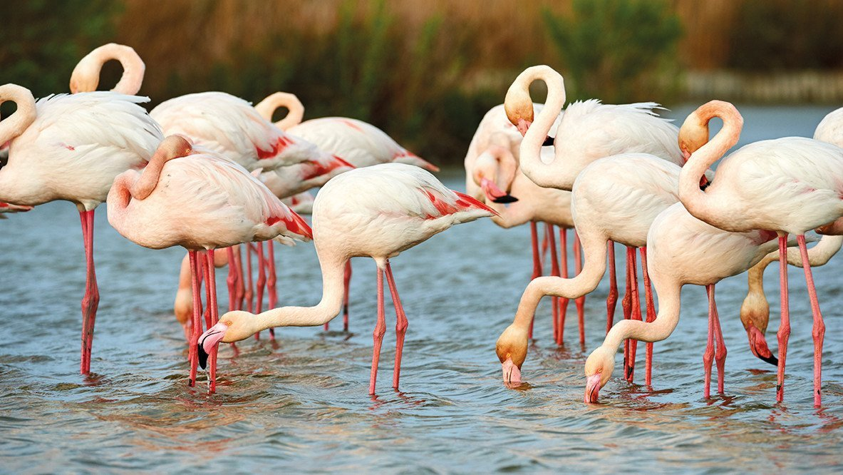 Flamingos an der Adria