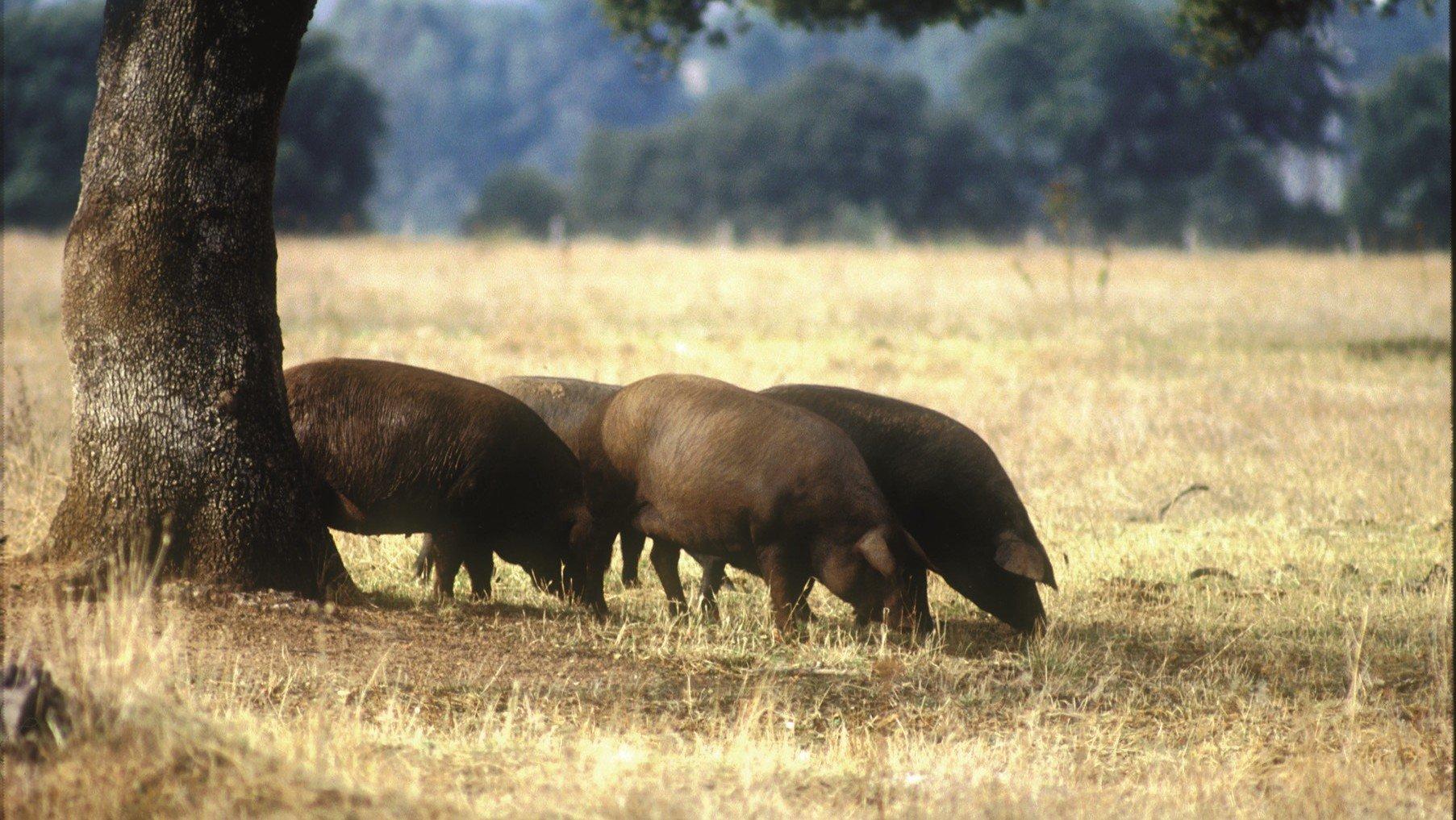 Schwarze Schweine in Andalusien