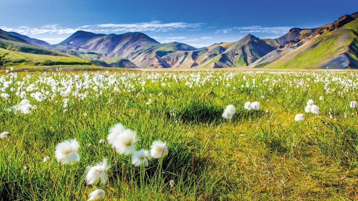 Landmannalauga Blumenwiese
