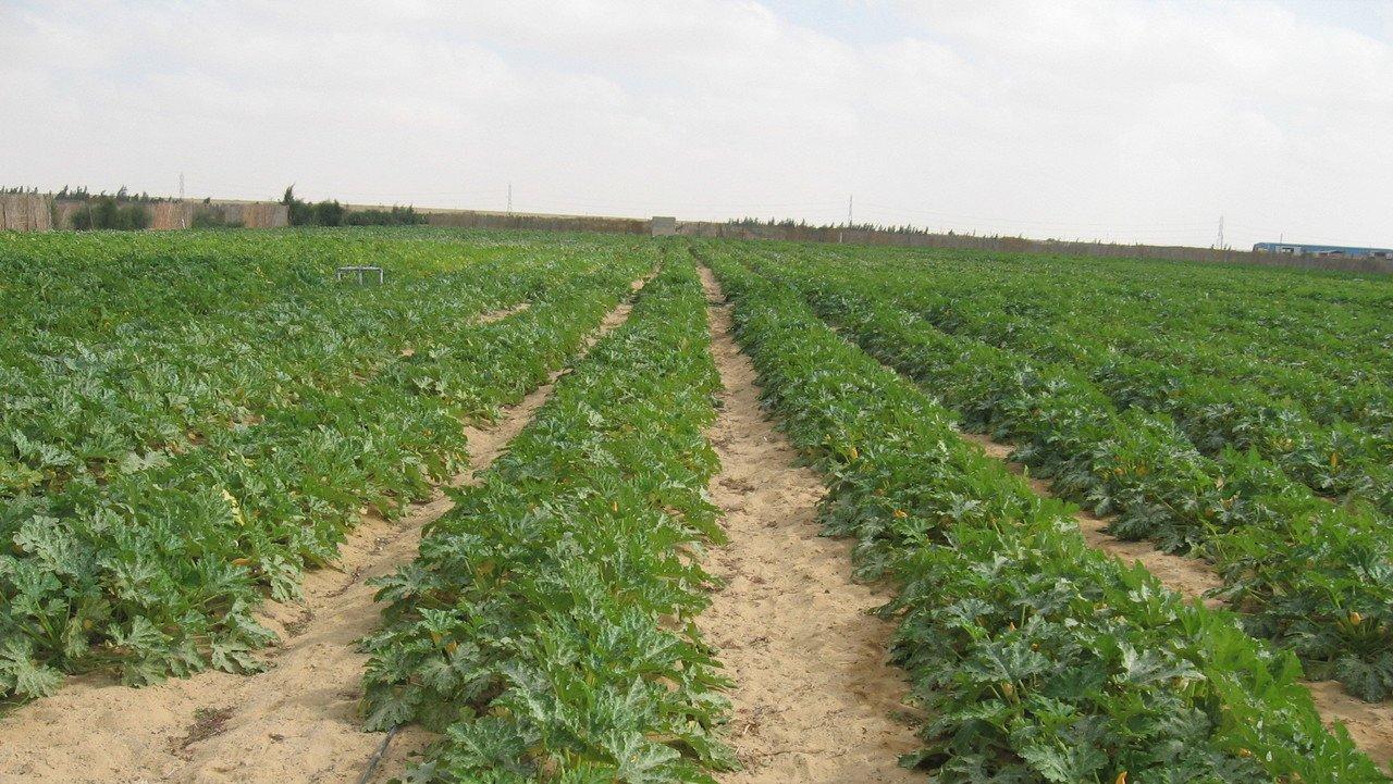 Zuccinianbau in der Wüste